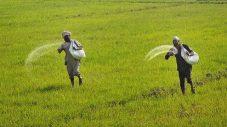 यूरिया की किल्लत किसानों के लिए बनी मुसीबत ।